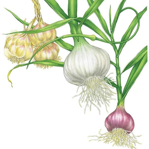 CNS0011 Allicin(Allium sativum L) 3% HPLC