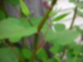 Giant Knotweed Extract Resveratrol