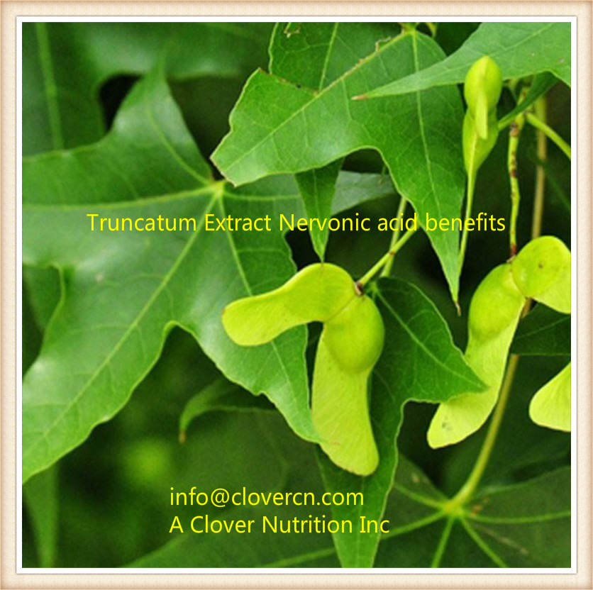 Acer truncatum Extract Nervonic Acid Nervonic acid benefits