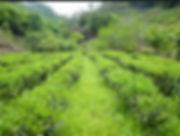 Green Tea Material Base