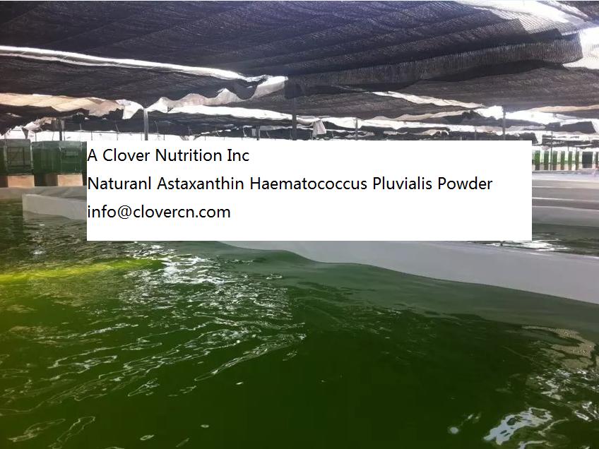 haematococcus pluvialis Buy Astaxanthin Astaxanthin Oil 10%