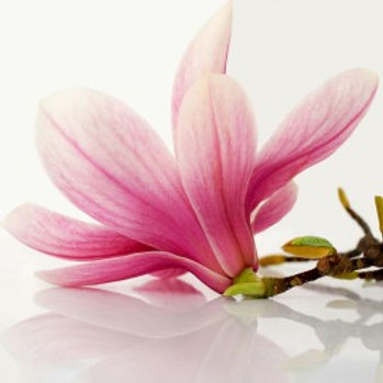 Magnolia Bark Extract Honokiol