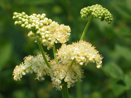 Organic Meadowsweet powder.jpg
