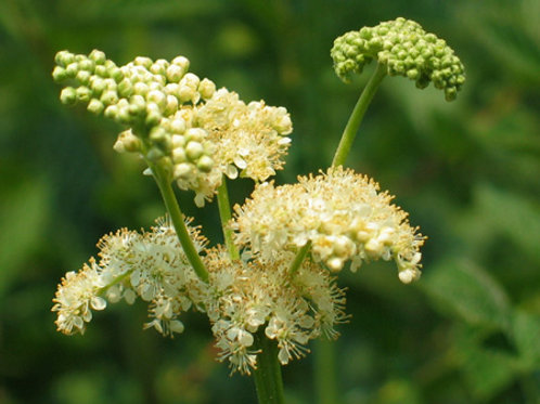 Organic Meadowsweet powder