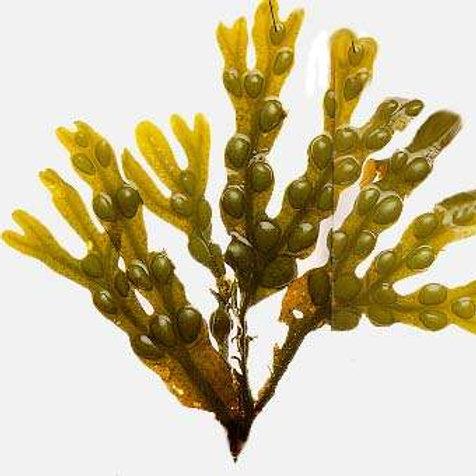CNS0052 Bladderwrack Polysaccharide 30% UV