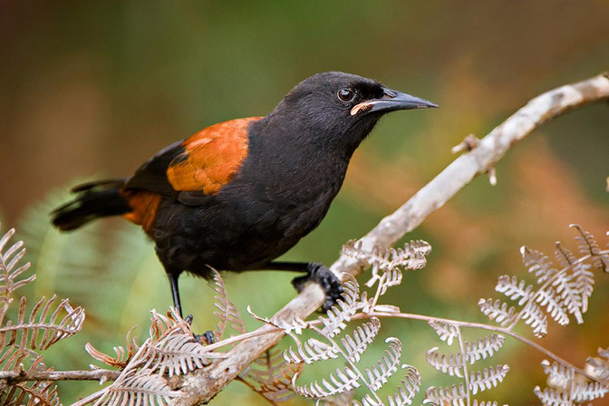 Citizen Science Month 2019 - Bird Counts Kaipatiki