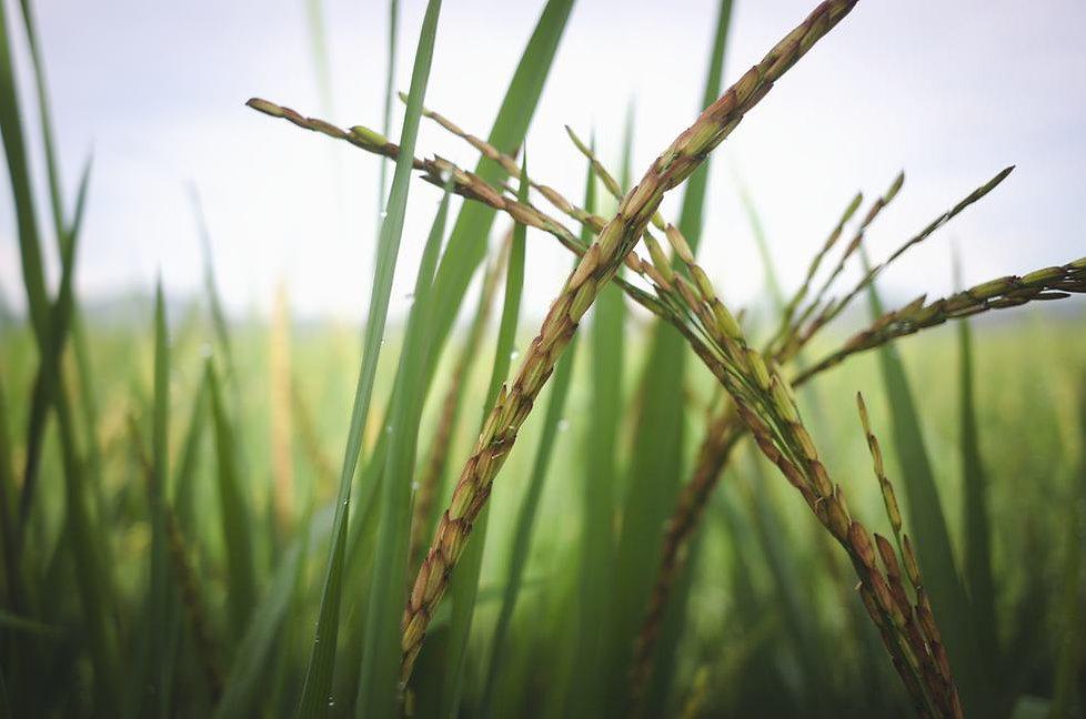 black-rice-maturing-moisture-around-30-p
