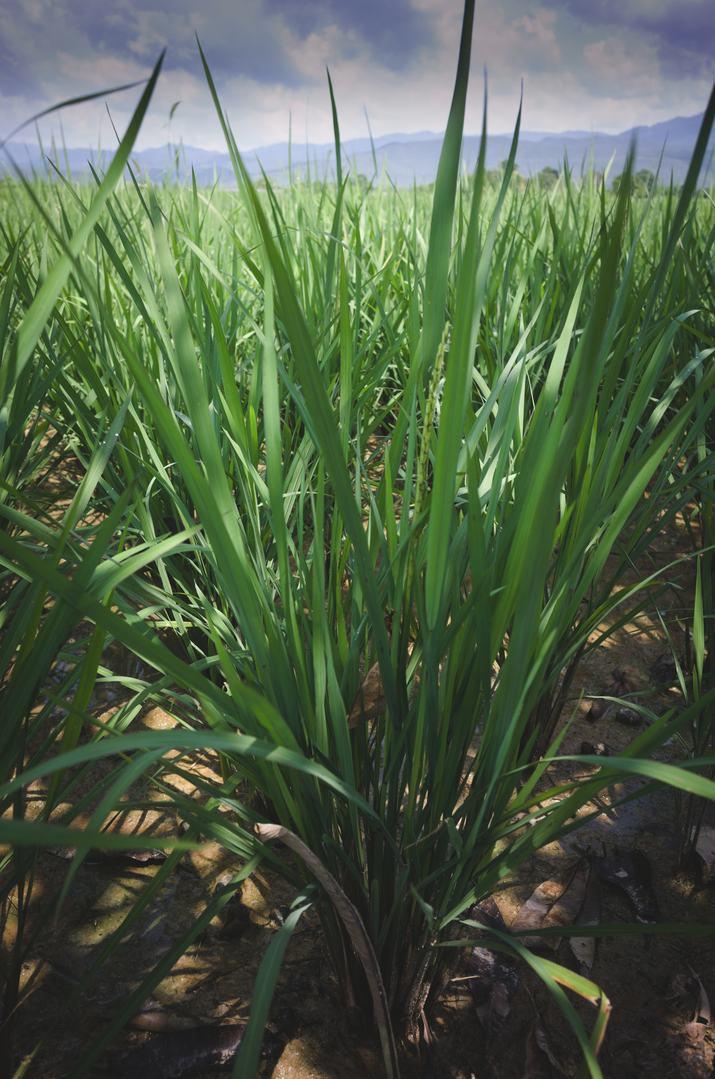 rice-plant-dry.jpg