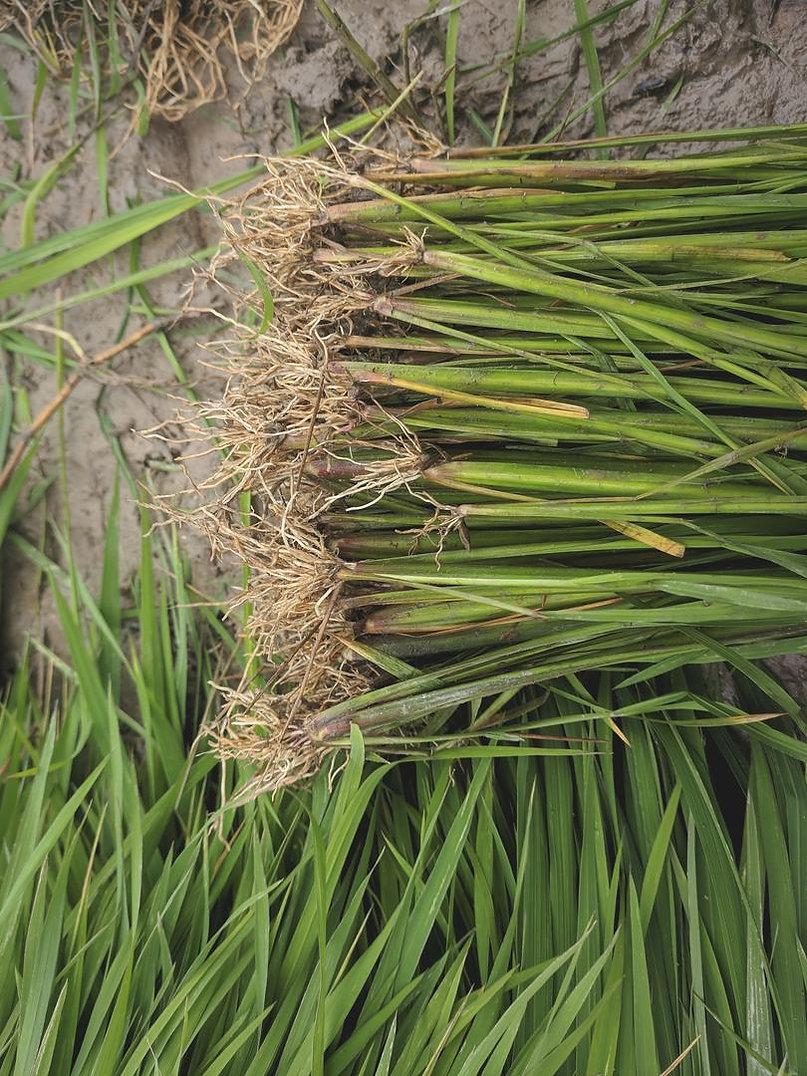 thai-rice-seedlings.jpg