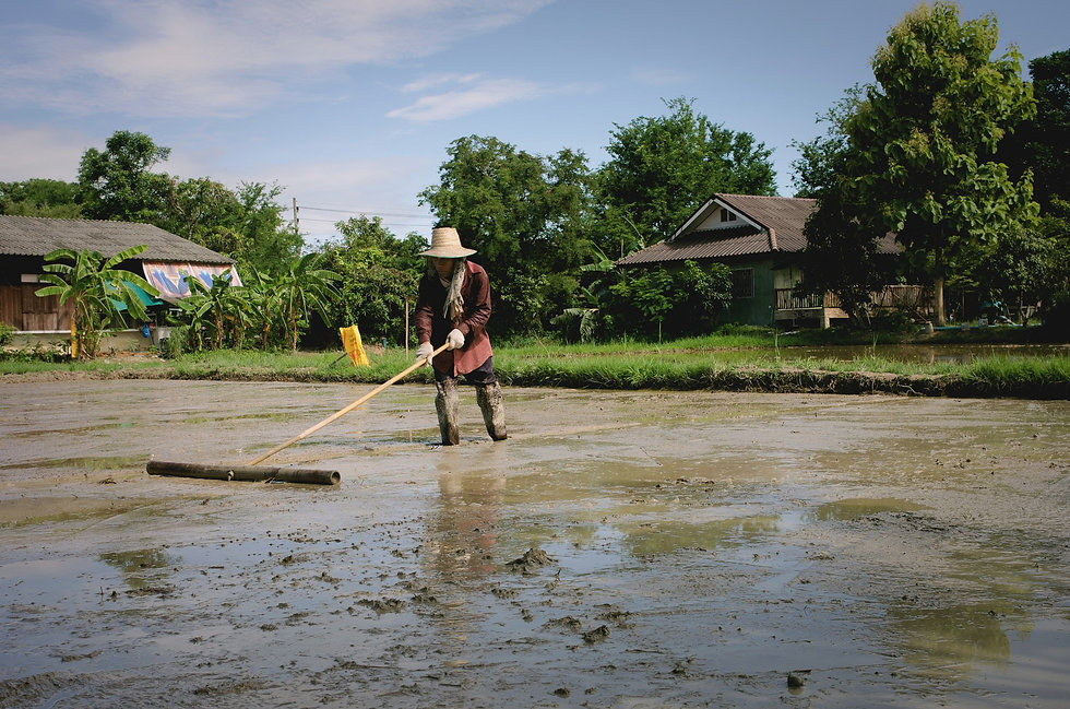 growing-organic-rice-in-thailand.jpg