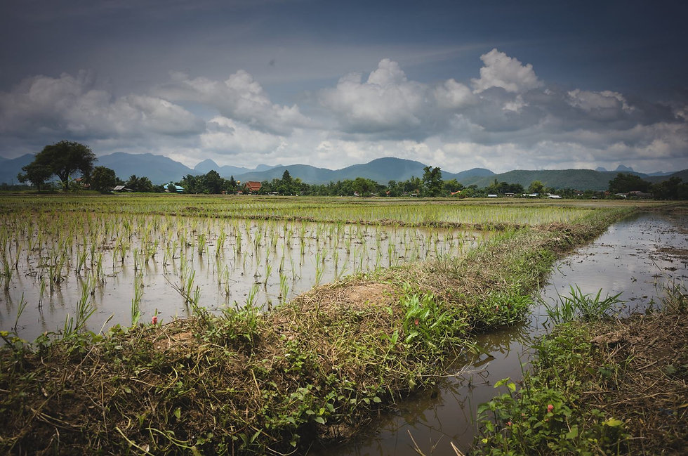 growing-rice-in-thailand.jpg