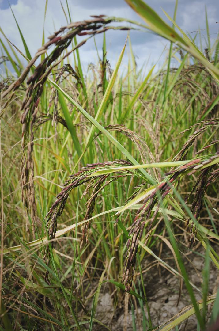 organic-rice-ready-for-harvest.jpg
