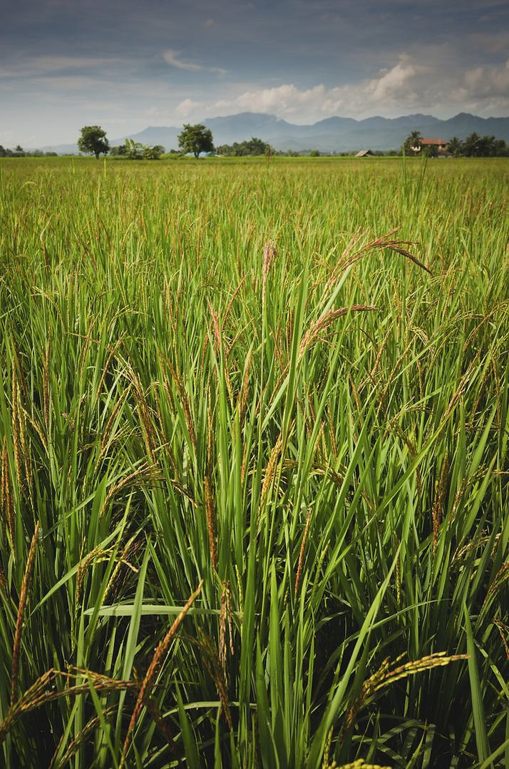 rice-plants-about-50-days-old.jpg