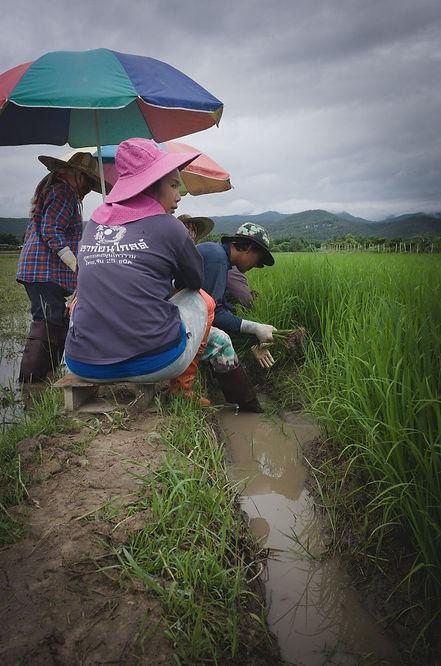 transplanting-rice-in-chiang-mai.jpg