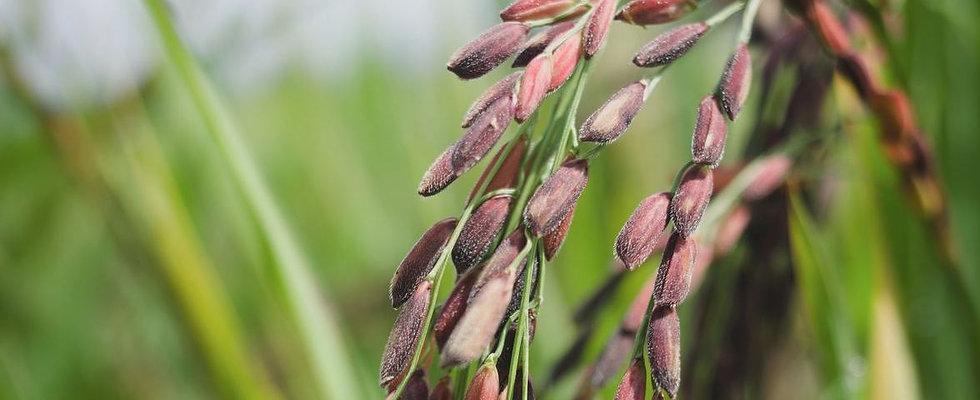 organic-black-rice-mature-grains.jpg