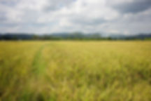 organic-black-rice-phrao-thailand.jpg