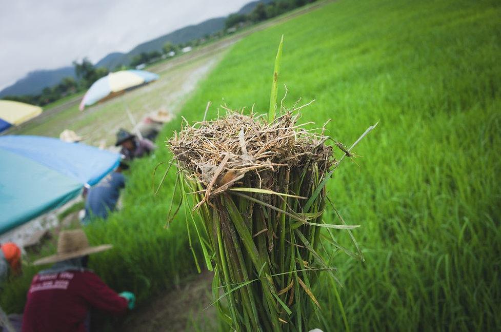 thai-black-rice-seedling.jpg