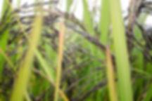 organic-riceberry-grain.jpg