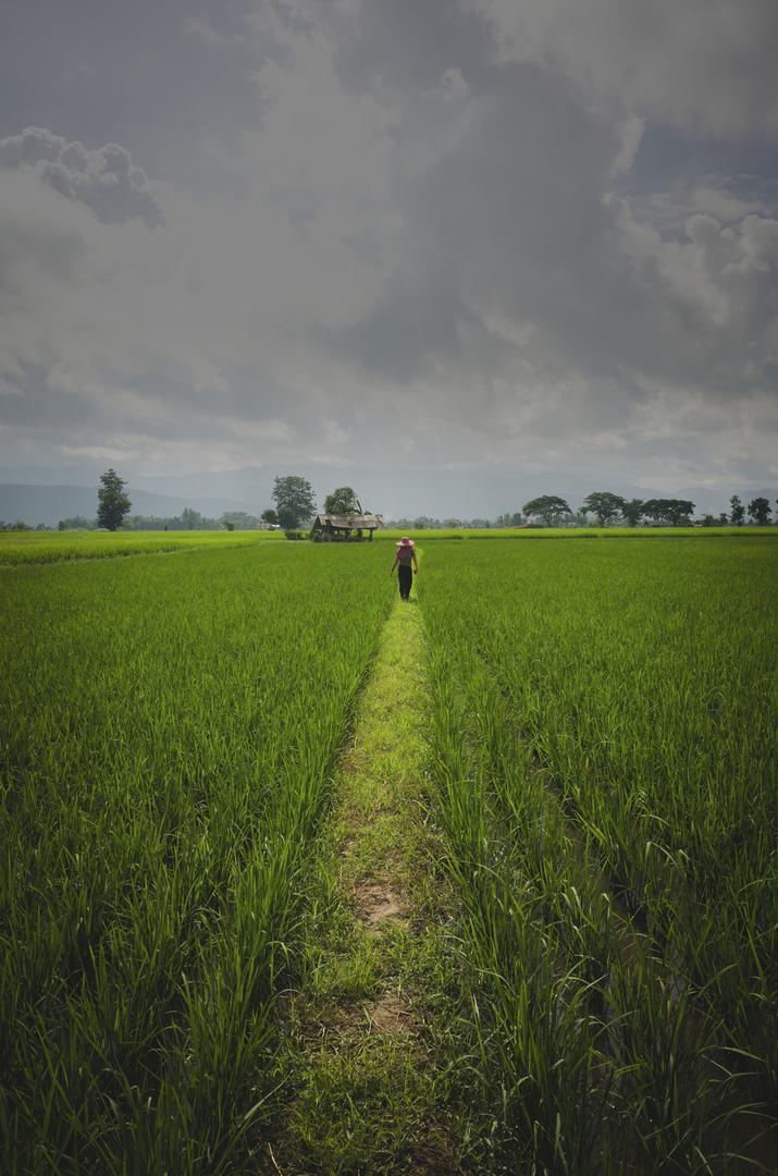 organic-rice-paddy-in-thailand.jpg