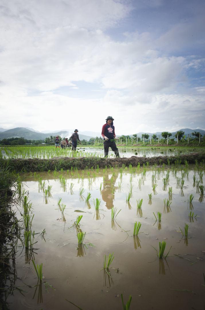farmer-transplanting-rice.jpg