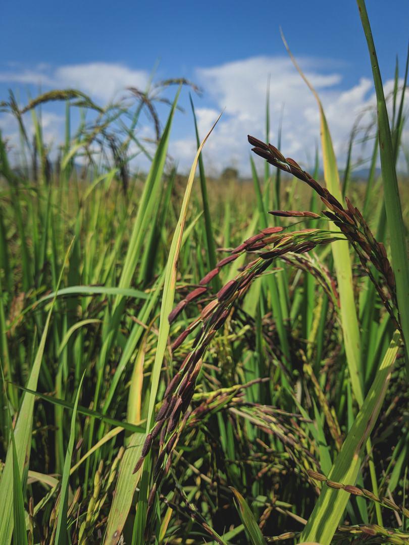 black-rice-mature-stage.jpg