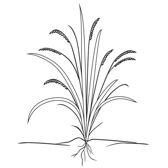 rice-growing-cycle-1.jpg