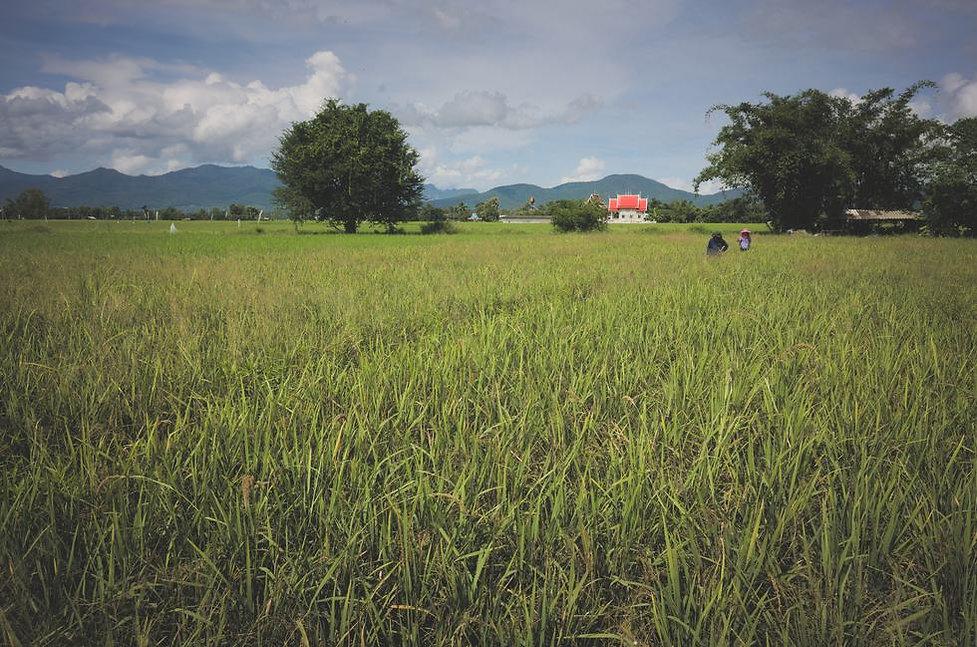 inspecting-black-rice-paddy-northern-tha
