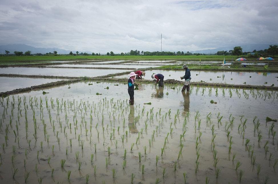 transplanting-rice-in-thailand.jpg