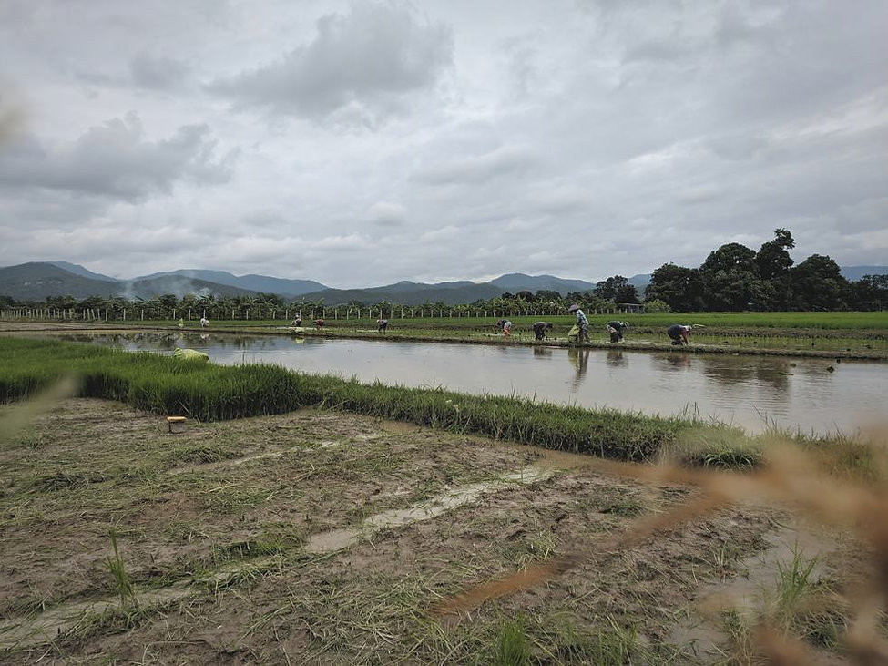 organic-rice-paddy-in-chiang-mai.jpg