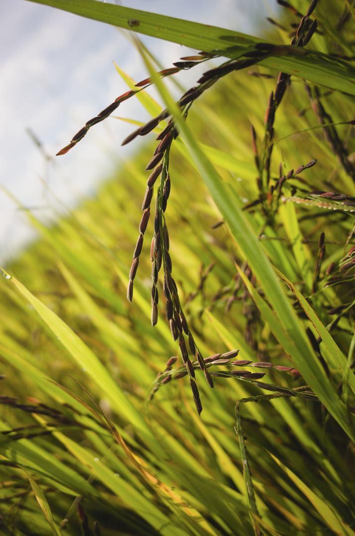 organic-thai-riceplant-reproductive-stag