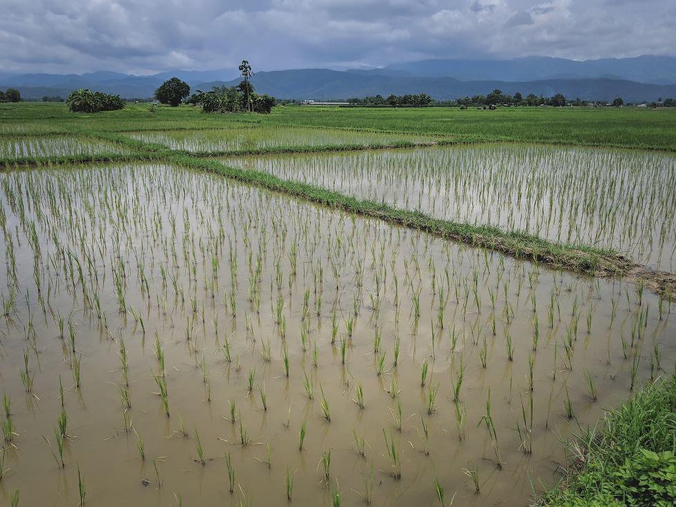 black-rice-fields-phrao.jpg
