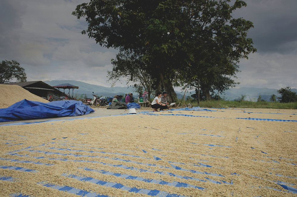 drying-rice-in-thailand.jpg