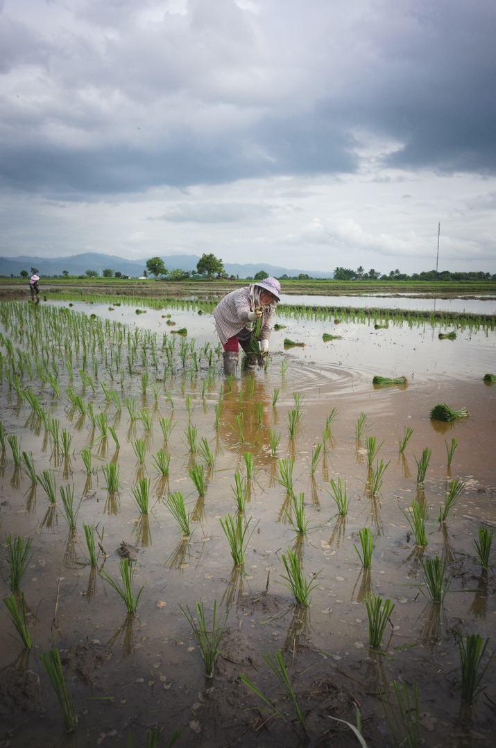 transplanting-black-rice.jpg