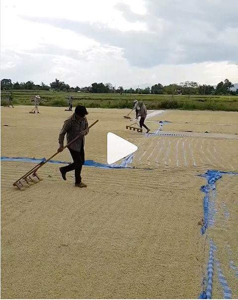drying-rice-in-the-sun-in-thailand.jpg