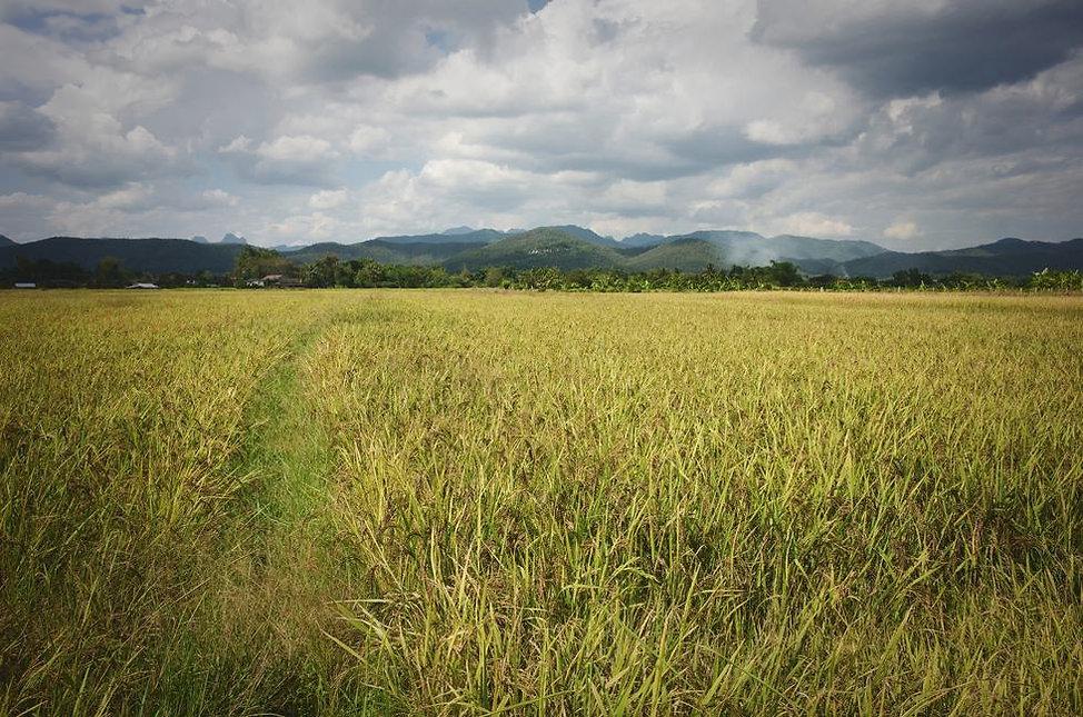 black-rice-mature-stage-thailand.jpg