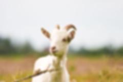 goats milk for goat soap