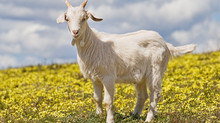 Goats milk benefits for our skin