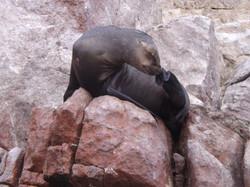 Lobos de mar en Islas Ballestas / Sea lions at Ballestas islands