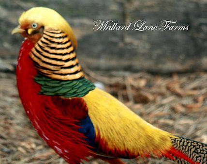 Red Golden Pheasant (yearlings)
