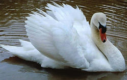 Swans for sale
