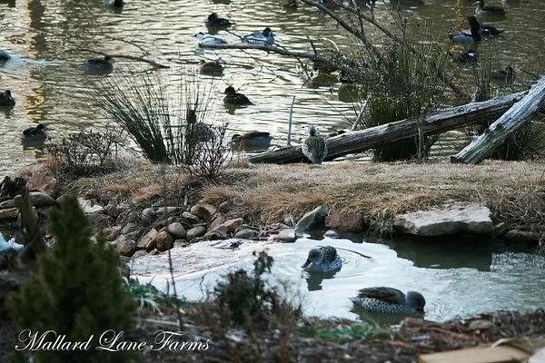 avairy for ducks