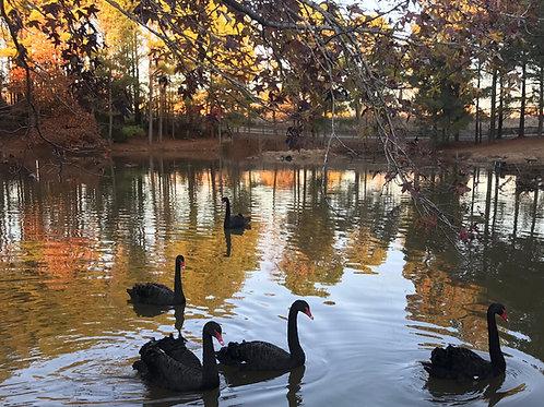 Black Swan Pair Breeder age