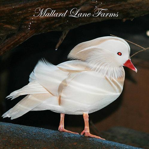 Taxidermy White Mandarin Male