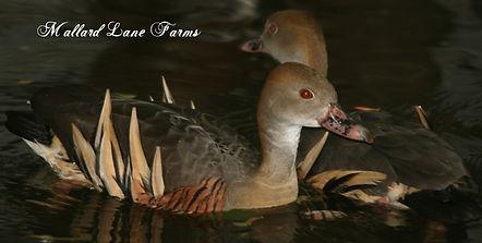 eyeton tree duck