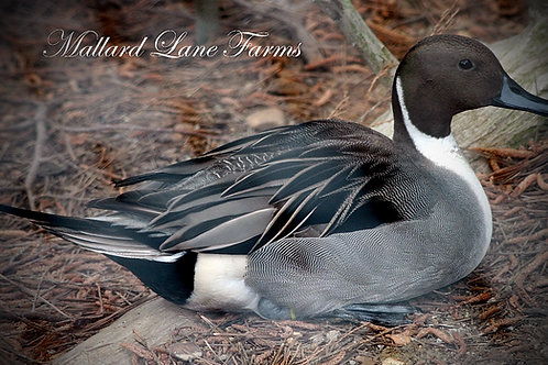 Taxidermy Northern Pintail