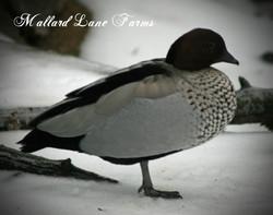 maned goose