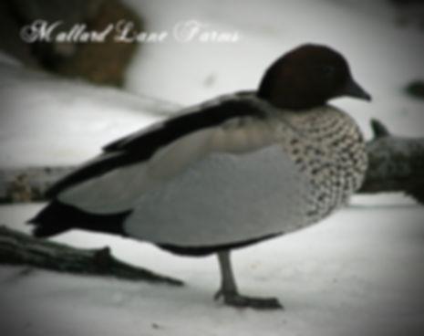 maned geese