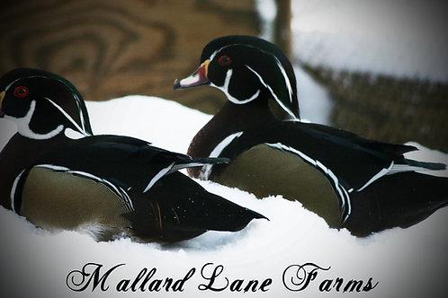 2 male wood ducks
