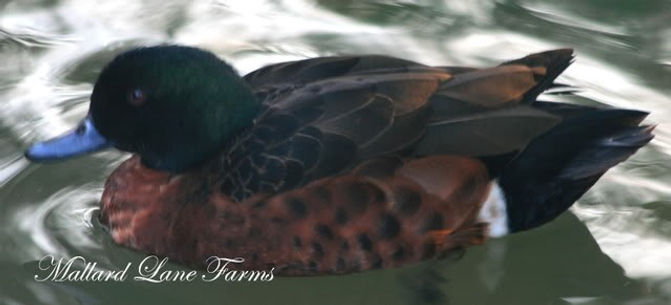 Chestnut breasted teal