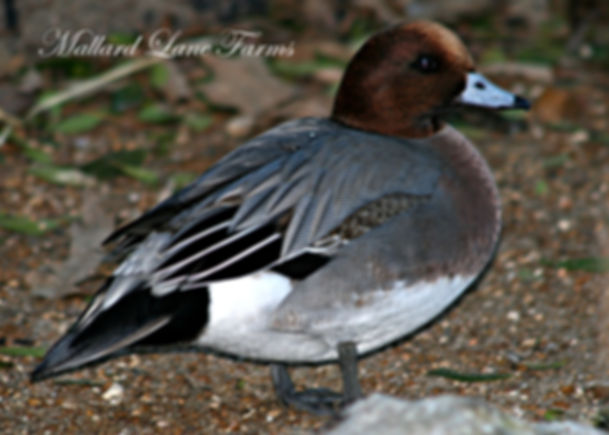 European Widgeon